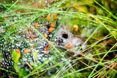 Spiderweb in forest grass. With dew drops and hole of spider Royalty Free Stock Photography