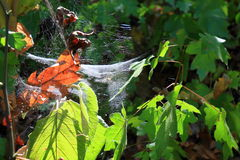 Spiderweb in the forest in light of the sun Royalty Free Stock Photos