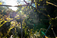Spiderweb in forest Royalty Free Stock Image