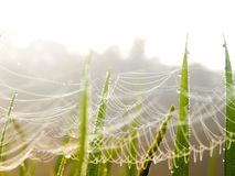 Spiderweb in grasses