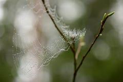 Spiderweb i små droppar av vatten efter regn på en pilfilial med gröna knoppar Fotografering för Bildbyråer