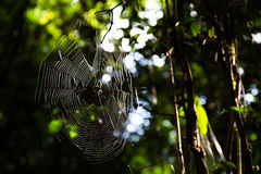 Spiderweb. In a jungle of thailand Stock Photography