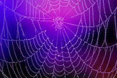Spiderweb med dagg tappar