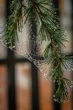 Spiderweb mojado en un pino Foto de archivo libre de regalías