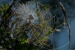 Spiderweb in morning. Dew droplets on a spiderweb in the morning Royalty Free Stock Image