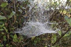 Spiderweb Na żywopłocie Fotografia Stock