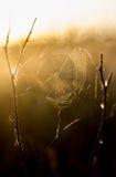 Spiderweb na gałąź w promieniach jutrzenkowy słońce Zdjęcia Stock