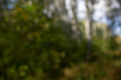 Spiderweb. Over green summer forest Royalty Free Stock Image