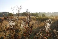 Spiderweb på växter Fotografering för Bildbyråer