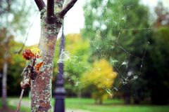 Spiderweb in the park. Beautiful spiderweb on the tree in the autumn park royalty free stock photography