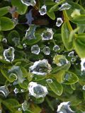 Spiderweb with Raindrops Caught on Top. Raindrops land collect on a spiderweb on the bushes outside Stock Photos