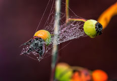 Spiderweb on a rose. Stock Photography