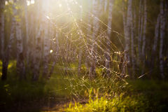 Spiderweb in russian forest. Forest spiderweb in the rays of the evening sun Stock Photo
