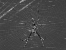 Spiderweb. Spider in the spiderweb in black and white Stock Photos