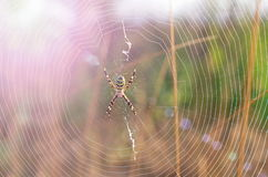 Spiderweb with spider in the middle Stock Photography
