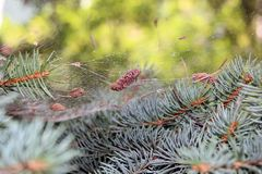 Spiderweb in a spruce branch Royalty Free Stock Photo