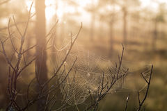 Spiderweb and sunrise in forest Stock Photography