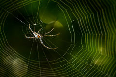 Spiderweb thailand. Lite small insect on the world Royalty Free Stock Photography