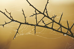 Spiderweb on thorn bush. Closeup of spiderweb on thorn bush with golden background Royalty Free Stock Images
