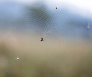 Spiderweb. Trabs spider, spider,  in the wild Royalty Free Stock Photos