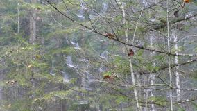 Spiderweb on a tree branches. In autumn fog stock video footage