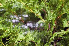 Spiderweb with water drops on green plants Stock Photos