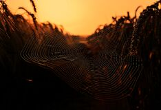Spiderweb in wheat field at sunset