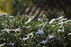 Spiderweb in White Flowers royalty free stock photos