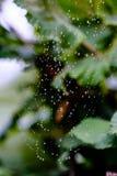Spiderwebhoogtepunt van waterdropplets na regen, vaag groen blad Royalty-vrije Stock Foto's