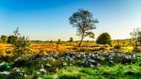 Spiderwebs покрывая вереск fields на Veluwe в утре Стоковые Изображения