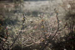 Spiderwebs le matin Photos stock