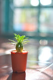 Spiderweed кактус, и вертикаль солнца вечера Стоковые Фото