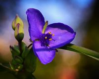spiderwort Photo libre de droits