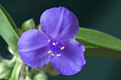 Spiderwort Royalty Free Stock Image
