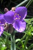 spiderwort royalty-vrije stock fotografie