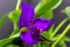 Spiderwort de la Virginie Image stock