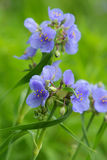 Spiderwort en la floración Imágenes de archivo libres de regalías