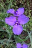 Spiderwort Stock Photo