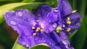 Spiderworts pflanzen, Knospen und Blume, Wassertropfen Stockfoto