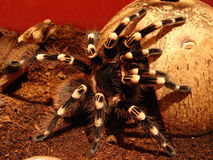 Spidey II. Another photo of my spider [Acanthoscurria Geniculata Stock Image