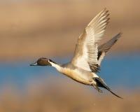 Spießenten-Ente im Flug Stockfoto