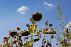Spieczeni słoneczniki obrazy royalty free