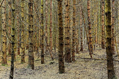 Spieczony świerkowy las zdjęcia royalty free