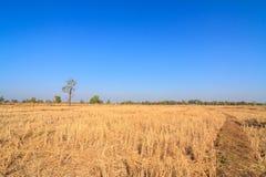 Spieczony ryżu pole w wsi Tajlandia zdjęcia stock