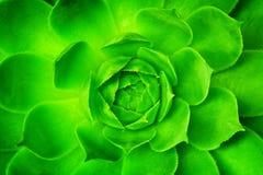 Spiegamento verde del fiore, apertura con il modello simmetrico dei petali immagine stock libera da diritti