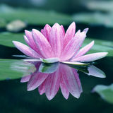 Spiegelbild von a waterlily  Lizenzfreie Stockfotos