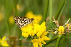 Spiegeldikkopje, Large Chequered Skipper, Heteropterus morpheus royalty free stock photography