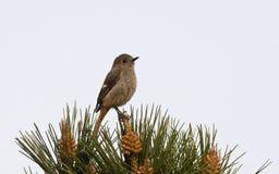 Spiegelroodstaart, Daurian Redstart, auroreus del Phoenicurus fotografia stock