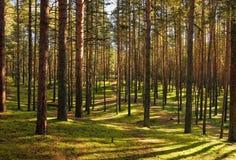 Spiel der Leuchte und der Farbtöne in der Kiefer zu einem Kieferwald. Lizenzfreies Stockfoto