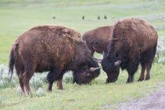 Spiel Fighting von zwei männlichen Stierbüffeln Lizenzfreie Stockfotos